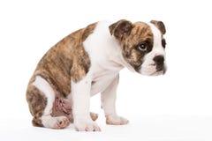 Old english bulldog pup uncertain. Whelp of an old english bulldog lateral sitting Royalty Free Stock Photo