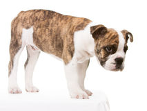 Old english bulldog pup uncertain. Whelp of an old english bulldog lateral standing Royalty Free Stock Images