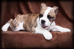 Old english bulldog puppy lying. Whelp of an old english bulldog lying in front of a brown background and plays Royalty Free Stock Images