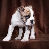Old english bulldog puppy standing. Whelp of an old english bulldog portrait, standing in front of a brown background Royalty Free Stock Photography