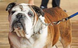 Old English Bulldog Stock Photo