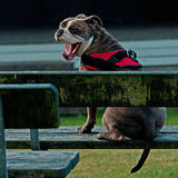 Old English Bulldog sitting on a park bench and yawning. Outdoor head profile portrait of a purebred Old English Bulldog yawning with wide open mouth and sitting stock image