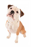 Old English Bulldog Sitting on White Background Royalty Free Stock Photos