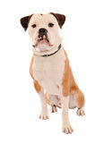 Old English Bulldog Sitting on White Royalty Free Stock Photography