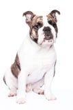 Old english bulldog. On white background Stock Image
