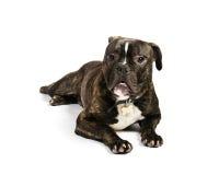 Old English bulldog,. Old English bulldog on a white background stock photo