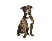 Old English bulldog,. Old English bulldog on a white background stock photos