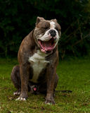 Old English Bulldog yawning. Outdoor head profile portrait of a purebred Old English Bulldog yawning with wide open mouth royalty free stock photo