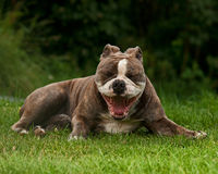 Old English Bulldog yawning Royalty Free Stock Photo