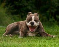 Old English Bulldog yawning Royalty Free Stock Photo