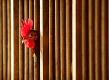 Old English Game Rooster Royalty Free Stock Photo