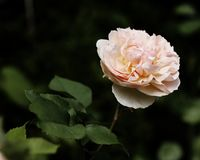 Old English Garden Rose. Old English style garden rose, hybrid name is Evelyn, peach and yellow in colour, beautiful garden rose with impressive flowers Stock Image