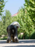 Old English Sheep dog Stock Photo