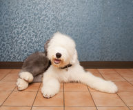 Old english sheep dog lied on home ground Royalty Free Stock Photo