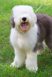 Old english sheep dog standing in green grass fiel Stock Photo