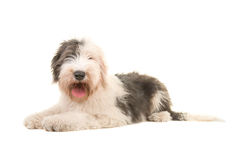 Old english sheep dog young adult lying on the floor seen from the side Royalty Free Stock Photography