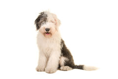 Old english sheep dog young adult sitting and facing the camera Stock Photography