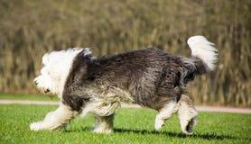 Old English sheepdog Royalty Free Stock Image