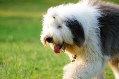 Old English sheepdog. An old English sheepdog walking on the lawn royalty free stock images