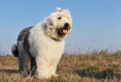Old English Sheepdog Stock Photo