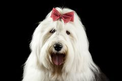 Old english sheepdog Stock Images