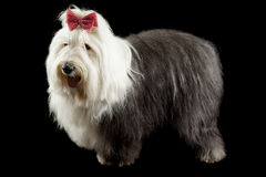 Old english sheepdog Stock Photo