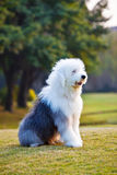 Old english sheepdog 2 Royalty Free Stock Image