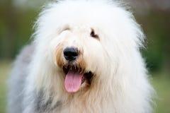 Old English sheepdog Royalty Free Stock Photos