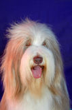 Old English Sheepdog. A beautiful long haired Old English Sheepdog (Bobtail) dog head portrait with cute expression in the face watching other dogs. Image on Royalty Free Stock Photo