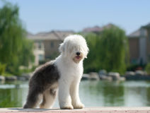 Free Old English Sheepdog Royalty Free Stock Photo - 6785835