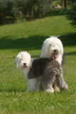 Old English Sheepdog. The riverside greenery work dog vigorous and healthy white gray tailless plays lovably two brothers the lawn hotly simple and honest Royalty Free Stock Image