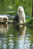 Old English Sheepdog. The work dog riverside greenery rill park scenery sits seeks for in the summer the pond Stock Photo
