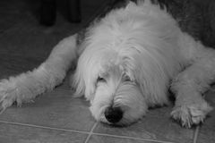 Old English Sheepdog napping. This is a beautiful gray and white Old English Sheepdog. It has a big black nose and eyes that you can hardly see royalty free stock images