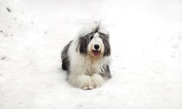 Old english sheepdog or bobtail sitting on the snow Royalty Free Stock Image