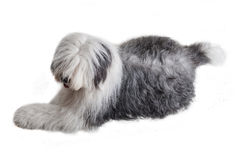 Old english sheepdog Royalty Free Stock Photo