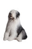 Old english sheepdog Stock Photos