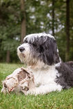 Old English sheepdog lying in grass with an old soccer ball Stock Image