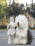 Old English Sheepdog  Poodle. The work white plays stands sits lovably Royalty Free Stock Images