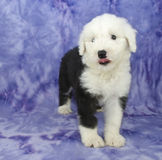 Old English Sheepdog Puppy Stock Image
