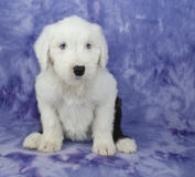 Old English Sheepdog Puppy Stock Photos