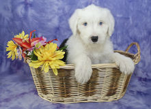 Old English Sheepdog Puppy Stock Images