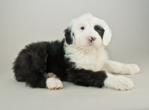 Old English Sheepdog Puppy Royalty Free Stock Image