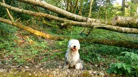 Old English Sheepdog resting in forest stock photos