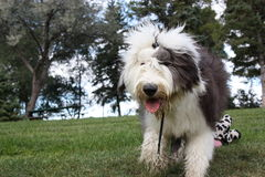 Old English Sheepdog Running Royalty Free Stock Photography