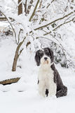 Old English Sheepdog standing in the snow Stock Photos