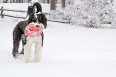 Old English Sheepdog standing in the snow holding a pink soccer ball Royalty Free Stock Photos