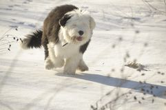 The old English Sheepdog Stock Image