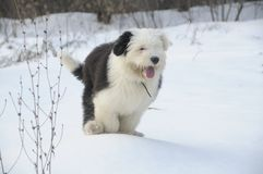 The old English Sheepdog Royalty Free Stock Image