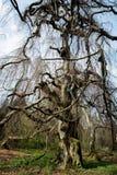 Old european beech (fagus sylvatica) Stock Photography