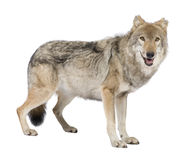 Old European wolf - Canis lupus lupus Royalty Free Stock Photos